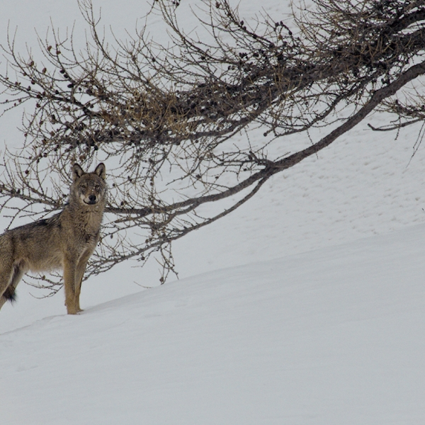 VIMFF-valley-of-the-wolves-2_600x600
