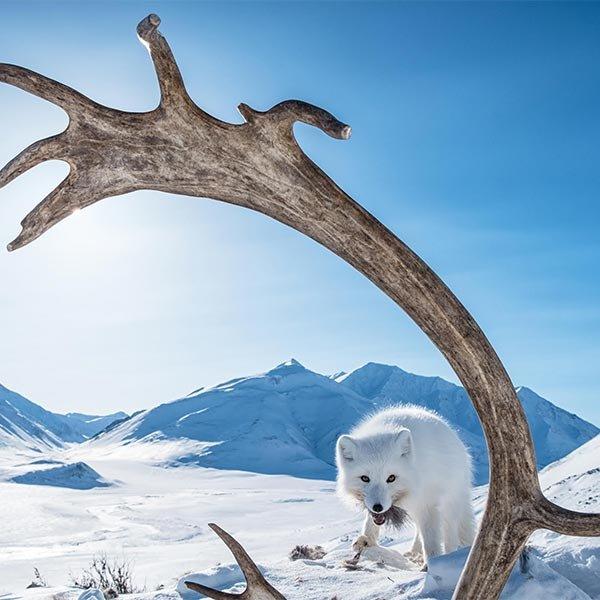 vimff arctic refuge featured