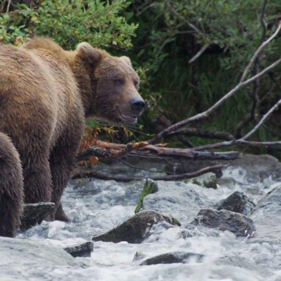 vimff bear like featured